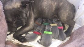 STUNNING French Bulldogs puppies for sale!!!