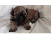 Shih Poo (Shih Tzu and Toy Poodle cross) Puppies for sale. Shihpoo