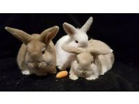 Baby Bunnies for Sale