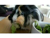 For sale guinea pig female