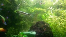 Siamese Algae Eaters (SAE)