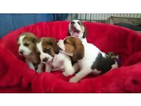 Beautiful Pedigree Beagle Puppies
