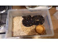 Female Juvenile Royal Python