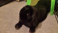 1 year old Female Holland Lop Bunny