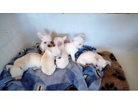 KC reg Chihuahua smooth coat pups for sale