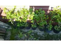 Privet plants hedging garden border boundary