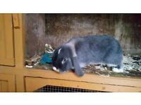 Mini lop doe 1 year old
