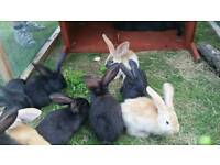 Giant German rabbits