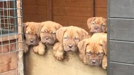 Full pedigree ddb pups for sale