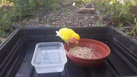 Found Lutino lovebird in Harrow area