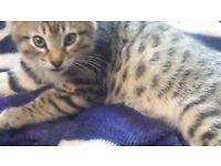 BENGAL x KITTENS male/fem, GCCF, full inoculations, chipped, flea, wormed, 1 left,litter trained