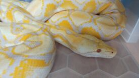 Lavender albino Python Reticulated