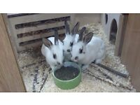 Two male baby rabbits