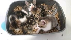 3/4 Bengal kittens for sale