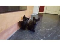 Kittens to sell, trained, healthy and very playful, only females, 11 weeks.