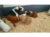 6 healthy guinea pig males