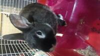 Dwarf Rabbit Needs New Home