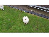 Pomeranian Male KC Registered