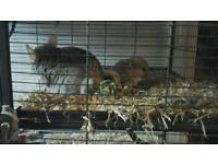 2 baby chinchillas for sale