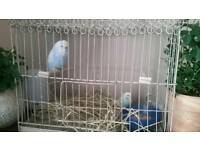 2 budgies and antique cage