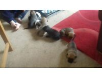 Staffie cross collie boys and girls ready in 4 weeks £250