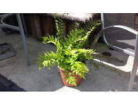 Fern. Garden plants flowers shruds display ornaments furniture table chairs hot tub pot hose