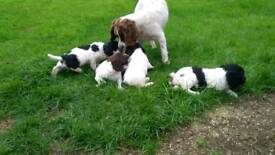 Springer Spaniel Pups Puppies