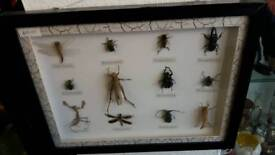 Framed Box of Bugs