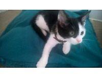 10 week old female black and white kitten