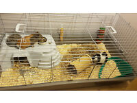 2 Female Guinea Pigs with Cage and Accessories - 2 Months old