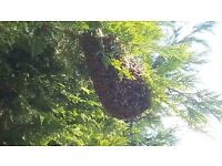 Bee swarm collection service in Woking, Guildford, Chertsey, Weybridge by your local beekeeper.