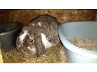 3 Female rabbits for sale ------- please read advert