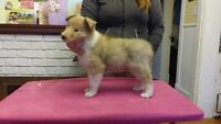 Ckc Rough Collie puppy, fully guaranteed