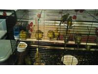 4 canaries with cage.