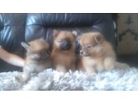 3 STUNNING POMERANIAN PUPPIES LEFT FOR SALE, 2 boys 1 girl.