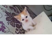 beautiful ginger and white kitten