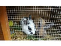 ( 2 Lionhead Bunnies one year old plus Hutch for sale)