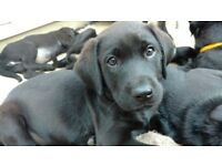 Labrador puppies
