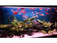 Swordtail fishes for sale