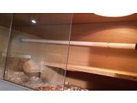 bearded dragon for sale with vivarium