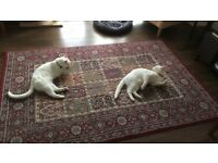 Twin Cats 4 Sale