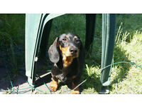 Lovely male mini Dachshund puppy looking for home