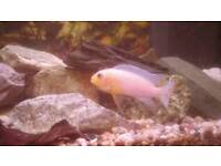 Large and medium african malawi fish Cichlids fishes