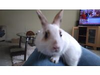 Vaccinated baby Netherland dwarf cross male rabbits for sale