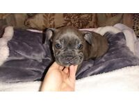 ** LILLY THE BLUE FIVE STAR STUNNING FRENCH BULL DOG X STAFFY PUPPY FOR SALE **