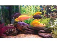 Cichlids fish, marble crab, plec