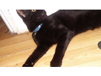 Black, persian kitten 4 months old male