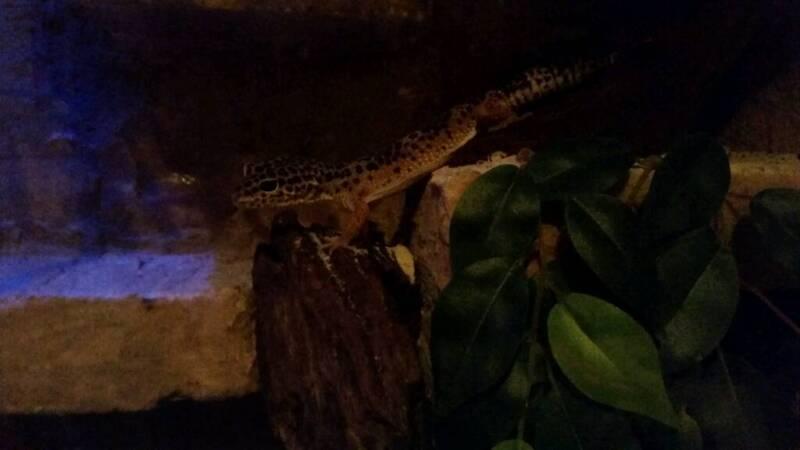 leopardgeckos mit terrarium in niedersachsen g ttingen ebay kleinanzeigen. Black Bedroom Furniture Sets. Home Design Ideas