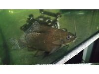 Feather fin catfish