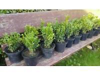 Box hedging plants shrubs topiary formal garden 18 plants